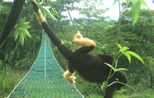 El misterio de los monos de Costa Rica que se están volviendo amarillos