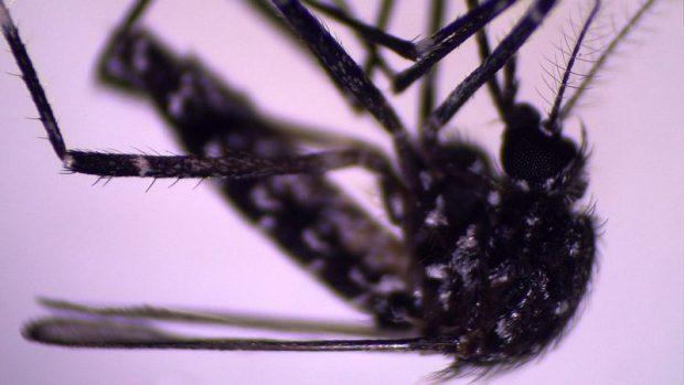 Aedes vittatus: por qué causa alarma la llegada de un nuevo mosquito al continente americano